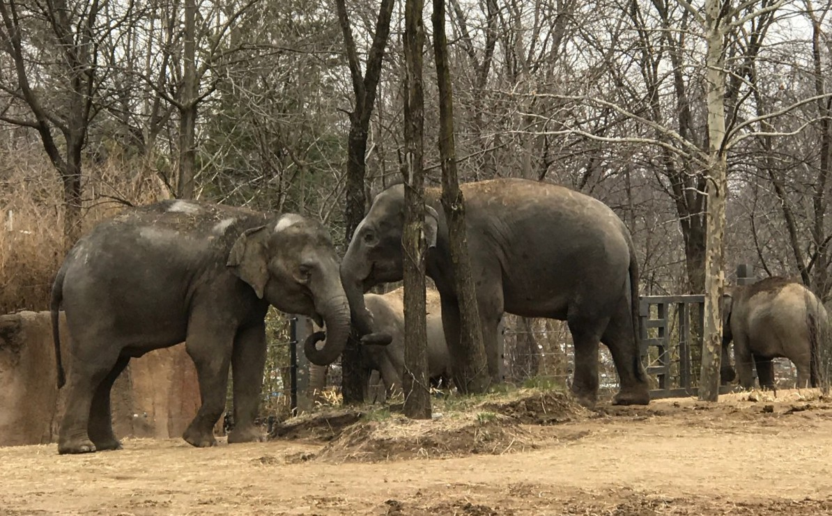 Asian Elephants, Saint Louis Zoo